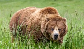 Massive brown grizzly bear in tall green grass stock photos