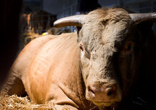 Massive bull. Close up of massive bull lying on straw in barn and looking at camera Stock Photo