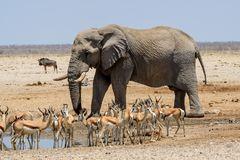Massive Bull elephant approaching the waterhole Royalty Free Stock Photography