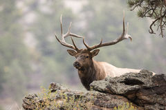 Massive Bull Elk in Portrait. Gigantic Bull Elk in Portrait mode in the rocky mountain national forest Royalty Free Stock Image