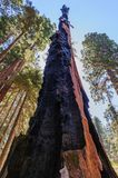 Burn Scars on a giant Sequoia Tree Royalty Free Stock Photography