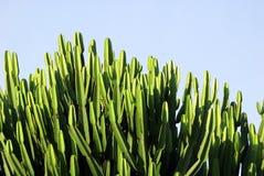 Massive cactus tree Royalty Free Stock Image