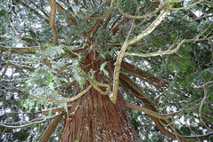 Massive Cedar Tree. During a winter snowfall Stock Photography