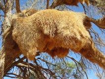 Namibia, Weaver Bird Nest in Tree stock photos
