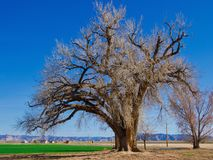 Massive Cottonwood Tree. Very old and extremely large cottonwood tree near Highline Lake. Highline Lake State Park in Western Colorado is fine for outdoor royalty free stock images