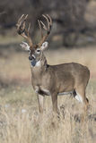 Massive Deer. A gigantic Boone and Crockett whitetail buck in vertical format for magazine cover in full alert. Whitetail bud has tremendous long brow tines and stock photos