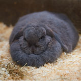 Massive dewlap on a fat sleeping rabbit. Huge double chin on a sleeping bunny Stock Images