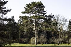 Massive evergreen tree in the forest royalty free stock photo