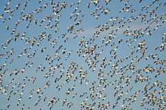Massive Flock of Flying Snow Geese Royalty Free Stock Photos