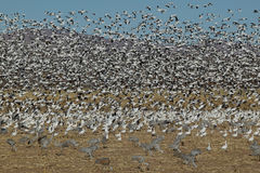 Massive Flock of Geese Stock Images
