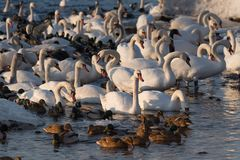 Mute swans and ducks in the frozen river at sunset royalty free stock images