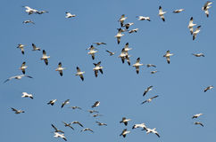 Massive Flock of Snow Geese Flying in a Blue Sky Royalty Free Stock Photos