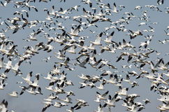 Massive Flock of Snow Geese Flying Over the Marsh Stock Photo