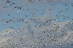 Massive Flock of Snow Geese Flying Through the Sky Stock Images