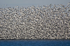 Massive Flock of Snow Geese Taking Flight Stock Images