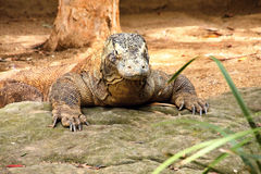 Massive front legs, komodo dragon, Varanus komodensis Stock Image