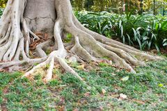 The massive gray roots of the tree go to the ground covered with green grass Royalty Free Stock Photography