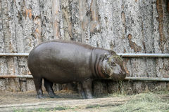 Massive Hippo in a pond of a zoo Stock Photos