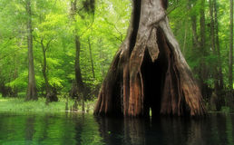 Massive hollow Cypress Tree in lush swamp. A massive bald cypress tree with a hollow base along a lush southern river stock image