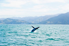 Massive Humpback whale jumping out of water. Boat view on humpback whale playing in tropical water in front of mountain coastline of Kaikoura New Zealand. The Royalty Free Stock Image