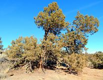 High Desert Diva. Massive juniper tree in the late afternoon sun - in the high desert east of Redmond, OR stock images