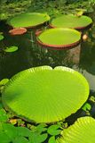 Leaves of giant and regular-sized water lilies stock photo