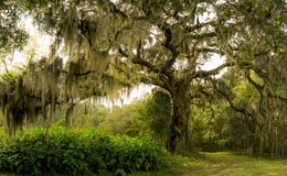 Massive Live Oak Tree. The massive Live oak tree draped in Spanish moss in the low country of South Carolina royalty free stock photos