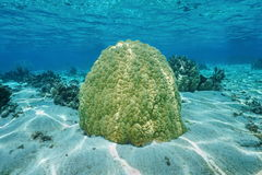 Massive lobe coral Porites lobata French polynesia. Massive lobe coral underwater, Porites lobata, on shallow ocean floor in the lagoon of Huahine island royalty free stock image