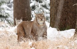 Massive lynx Stock Images