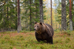 Massive male bear in forest Royalty Free Stock Photo