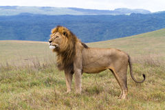 Massive male lion Royalty Free Stock Photos