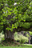 Massive maple tree Royalty Free Stock Image