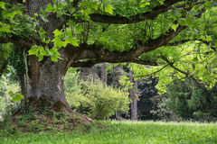 Massive maple tree in the park Royalty Free Stock Image