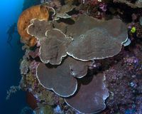 Massive Montipora Plate corals Stock Images