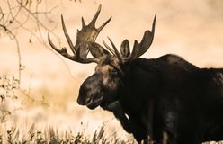 Moose rack. Massive Moose with a very large rack standing n the shadows Grand Teton National Park, Wyoming, USA; Gros Ventre Campground royalty free stock photos