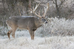 Massive non-typical racked whitetail buck with first on back. Huge non-typical racked whitetail buck with frost on back Royalty Free Stock Photos
