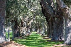 Massive Oaks Around Grassy Lane Stock Image