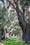 Massive Oaks and Grassy Lane Royalty Free Stock Photo