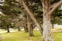 Massive Oceanside Oaks Royalty Free Stock Photo