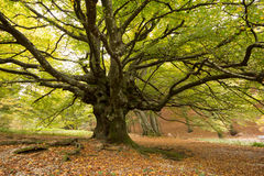 Massive old european beech. Image of massive old european beech Stock Images