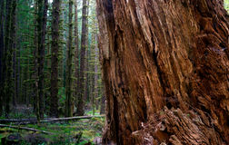 Massive Old Growth Red Cedar Tree Split Apart Wooded Rainforest Royalty Free Stock Image