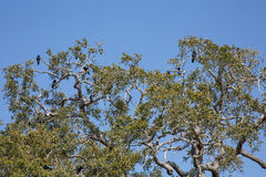 Live Oak Tree Full of Blackbirds Royalty Free Stock Photos