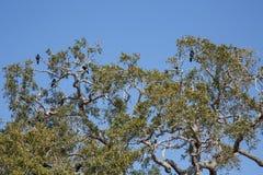 Live Oak Tree Full of Blackbirds Royalty Free Stock Photos