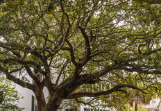 Massive Old Oak Tree on Southern Residential Street Stock Photos