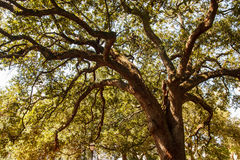 Massive Old Southern Oak Royalty Free Stock Images