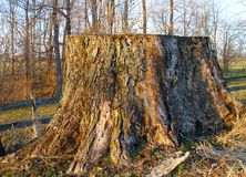 Massive old weathered stump Royalty Free Stock Photo