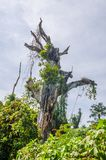 Massive overgrown holy dead tree on the island Bubaque, Bijagos archipelago, Guinea Bissau, West Africa.  royalty free stock photo