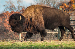 The Massive & Powerful Bison Royalty Free Stock Images