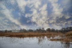 Massive starling murmuration over Somerset wetlands lake landsca. Huge starling murmuration over wetlands lake landscape in Autumn Winter Royalty Free Stock Image