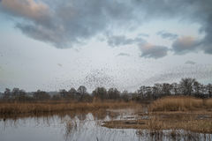 Massive starling murmuration over Somerset wetlands lake landsca. Huge starling murmuration over wetlands lake landscape in Autumn Winter Royalty Free Stock Photography